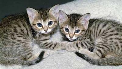 Котята-клоны, произведённые фирмой Genetic Savings and Clone (фото Victor Fisher/Polaris Images)
