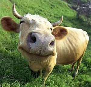 Почему человек не корова