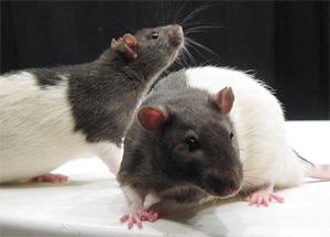 Мозг нескольких крыс соединили в сеть