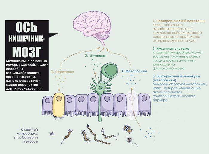 Удивительные взаимодействия между мозгом и микробами кишечника